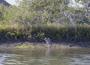 Photo: Yellow-crowned Nigh Heron