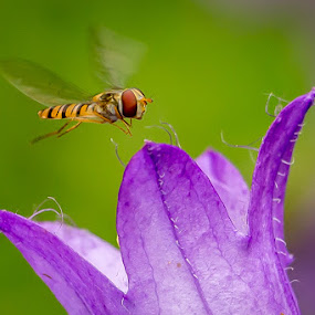 Hoverfly by Tony Walker - Animals Insects & Spiders ( hovering, hoverfly, flying, wings, flower )