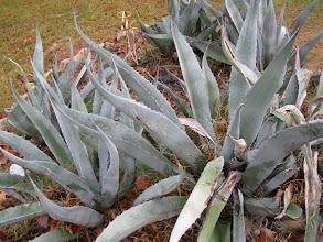 Photo: Agave, one of many species.  Some are used for fermentation, some for direct eating (after roasting).  They can provide a lot of fiber for everything from sandals to bags to mats.  A plant of many uses.