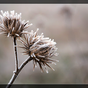 Frozen Torn by Stoyan Baev - Nature Up Close Other plants ( bulbs, flowers, frozen, close up, torn )