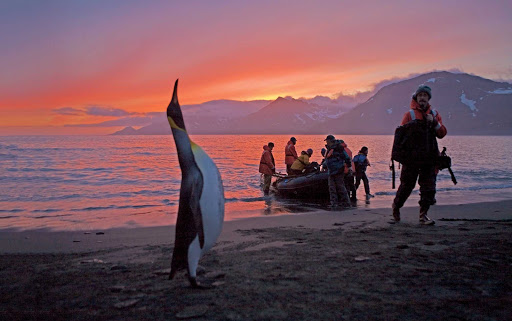 A king penguin seems to welcome guests arriving on a National Geographic Endeavour Zodiac at St. Andrews Bay on South Georgia Island.