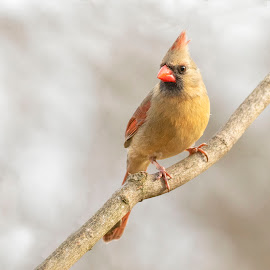 by Kathy Jean - Animals Birds ( female cardinal, bird, animal, cardinal, female )