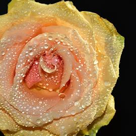 orange rose flower by LADOCKi Elvira - Flowers Single Flower ( floral, nature, plants, garden, flower )