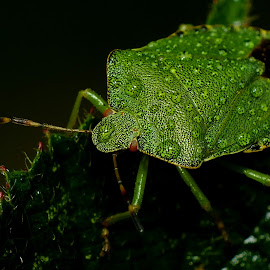 Common Green Shieldbug in the rain by Pat Somers - Animals Insects & Spiders