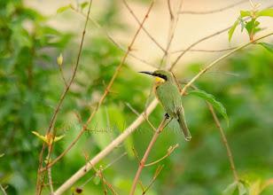 Photo: Abejaruco chico (Merops pusillus)