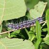 Anguss Datana Caterpillar / Moth
