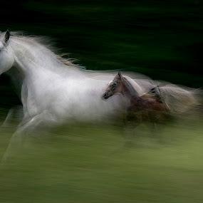 Sped by Milan Malovrh - Animals Horses ( lipicanci )