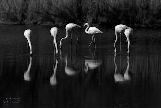 Photo: Group of pink flamingos in B & W