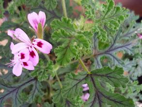 Photo: Scented geranium