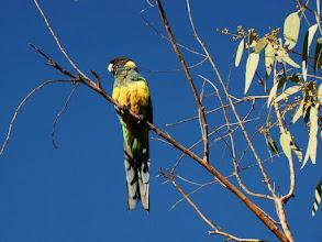 Photo: AUSTRALIE-Perruche à Alice Springs