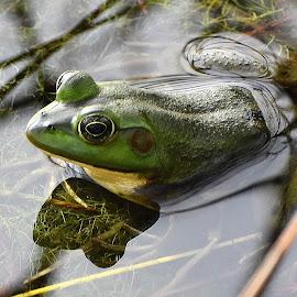 by Donna Van Horn - Animals Amphibians (  )