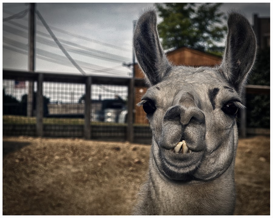 Photobomb by Chris Wise - Animals Other ( hdr, zoo, chris wise photography, erie, llama )