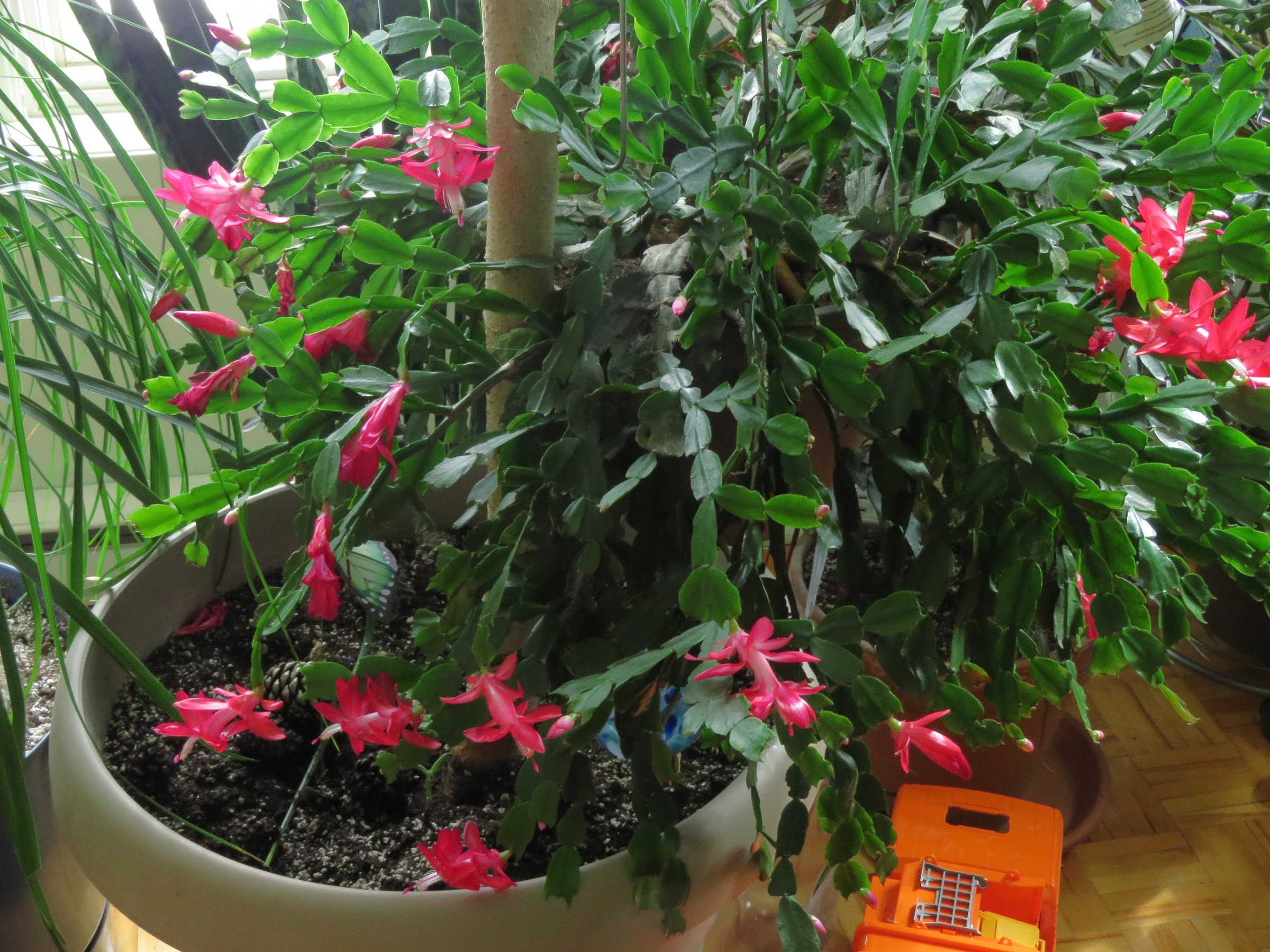 Mes petites plantes grasses et cactées - Page 4 Fne4hKYWHA4s_Lpt4nkb58T40umrnDR2Xjo1iR07r8xy5eaLKAYcNO1l6L5WZrTc92Fr2dTEY3yhVrG1uSGRV7gkMWxIwJ8GShH2HQmyDIL2aEX_zssRrvi43s_xvnDbk_JAM7-XyHI=w2400