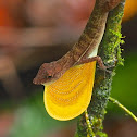 Many-scaled Anole or Golfo-Dulce Anole