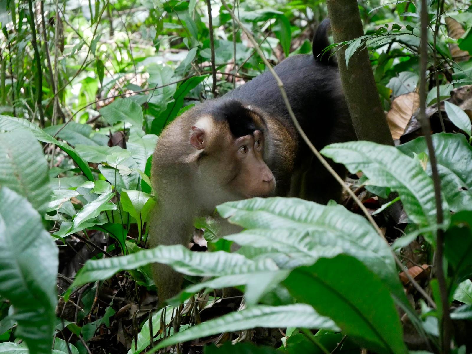 orangutanes de Bukit Lawang