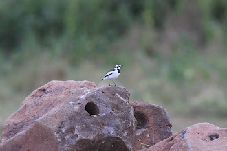 Photo: Pied Wagtail.
