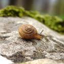 Terrestrial Snail