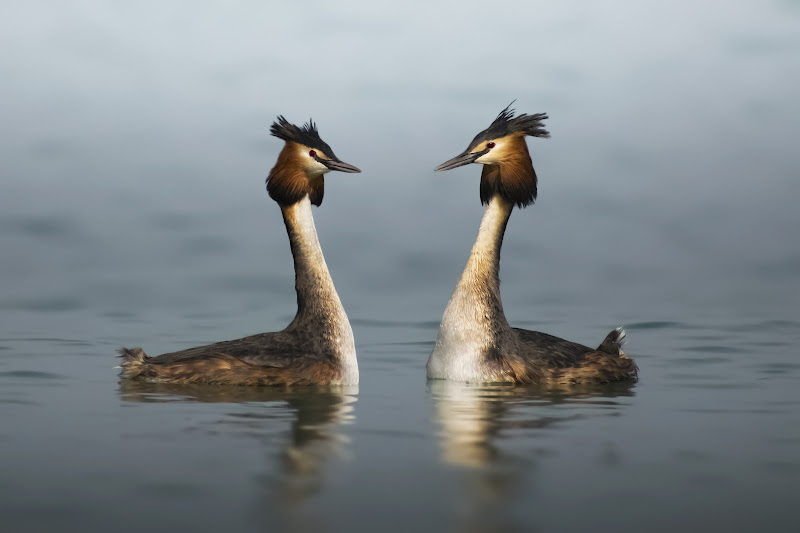 Grebes in mating di Andrea Casolin