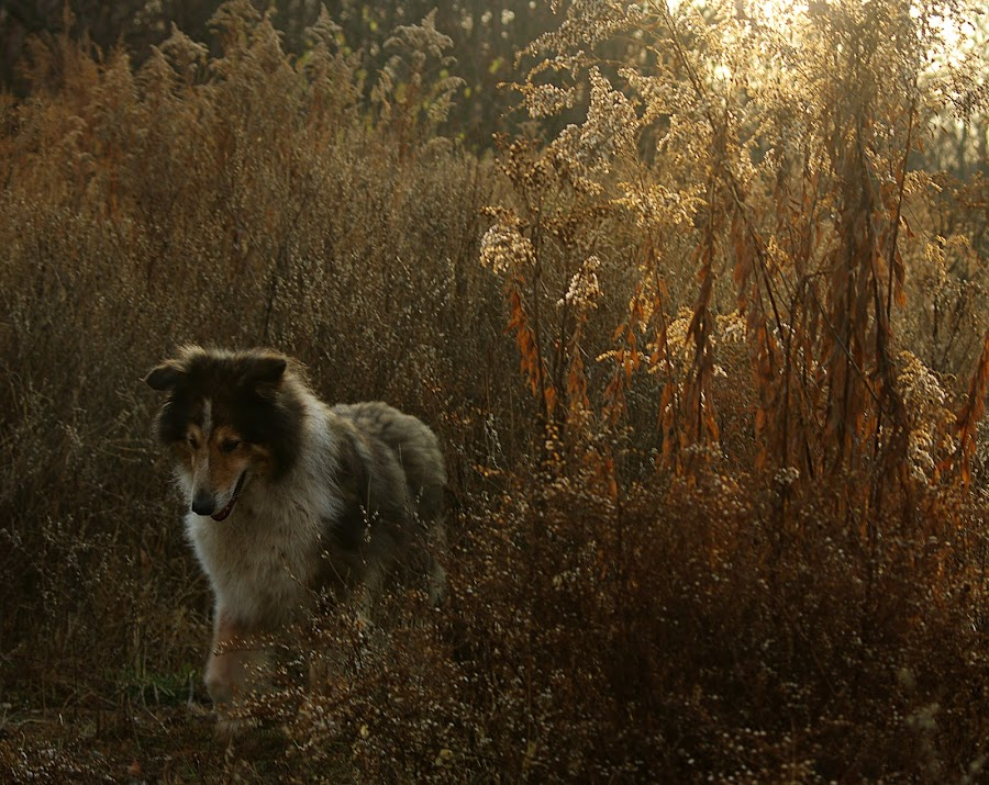 Evening Walk by Jenny Gandert - Animals - Dogs Portraits ( baxter )