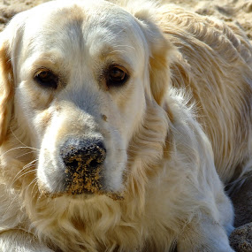 My dog by Ana Paula Filipe - Animals - Dogs Portraits ( sand, retriever, golden, portrait, dog )