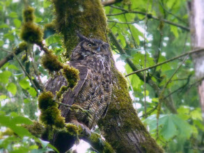 Photo: Great Horned Owl