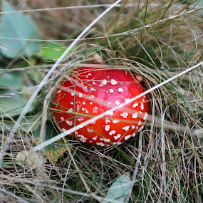 Little red by Gil Reis - Nature Up Close Mushrooms & Fungi ( macro, places, nature, bio, life )