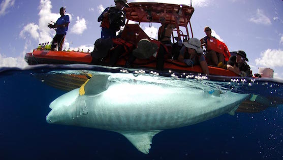 NWHI - Tiger shark tagging