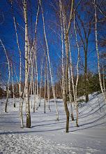 Photo: Winter birch grove  #winter #birch #birchtree
