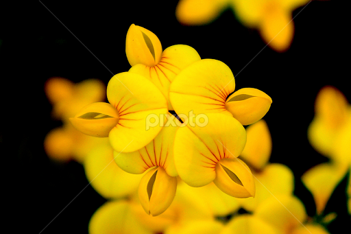 Cute little yellow flower single flower flowers pixoto cute little yellow flower by vasanth photographer flowers single flower macro nature mightylinksfo