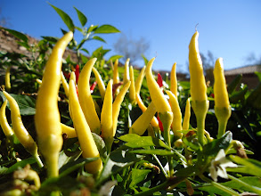 Photo: I love the color of ripening chili peppers. My mom keeps these in her garden for decoration.