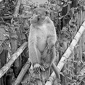 Rhesus Macaque by Kingshuk Mondal - Animals Other Mammals ( rhesus macaque, sundarban, primate, monkey )