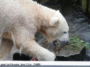 Photo: Beschaeftigt sich Knut eben allein mit dem Nadelgehoelz ;-)