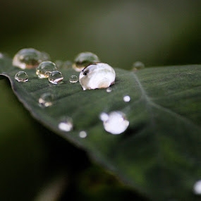 The drops of diamond by Sushant Pandey - Nature Up Close Leaves & Grasses ( nature, waterscape, green, diamond, drops, raindrops, leaves )