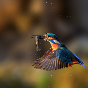 Kingfisher by Roberto Melotti - Animals Birds ( river kingfisher, roberto melotti, fish, dive, catch, nikon d810, eurasian kingfisher, prey, common kingfisher, martin pescatore europeo, martin pescatore comune, alcedo atthis, kingfisher, capture )