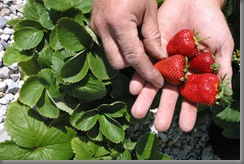 strawberries_lg