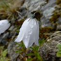 Bluebell Bellflower - White Form