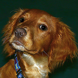 Watch! by Chrissie Barrow - Animals - Dogs Portraits ( cocker spaniel, pet, white, noae, fur, ears, puppy, dog, tan, portrait, eyes )
