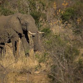 Elephant by David Botha - Animals Other ( mammal, bushes, elephant, wild, wildlife )