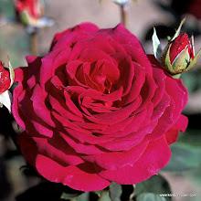 Photo: Edelrose Big Purple®, Züchter: P. Stephens 1986
