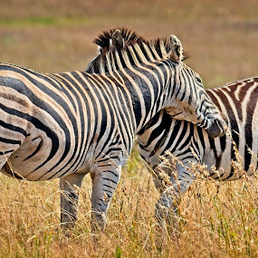 Zebra  by Anne-Marie  Fuller  - Animals Other Mammals ( zebras, nature, nature up close, nature photography, wildlife,  )