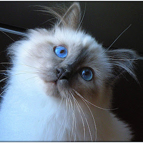 Seducer by Ana France - Animals - Cats Portraits