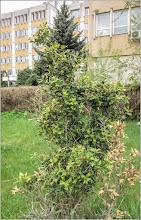 Photo: Turda - Str. Andrei Muresanu - spatiu verde al spitalului , stejar de carmaz - 2019.04.18