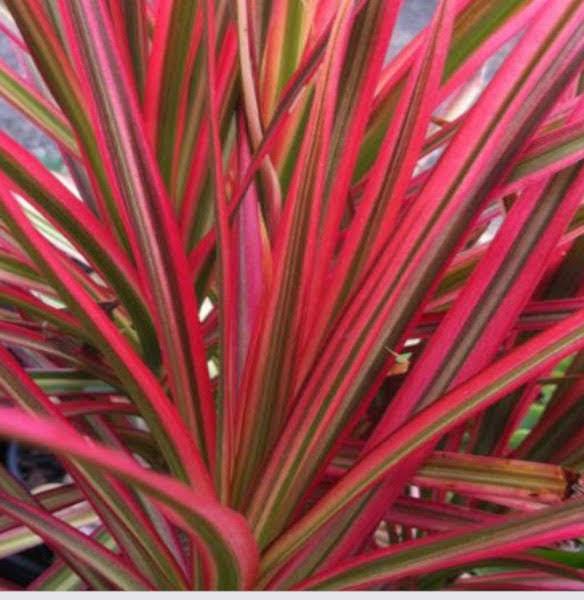 Dracaena planta de color rojizo instalada en los jardines verticales