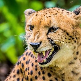Smiler by Ken Nicol - Animals Lions, Tigers & Big Cats (  )