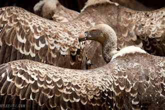 Photo: Wave of vultures Tanzania, Africa Serengeti On safari from the blog at www.kylefoto.com  Spending the previous weeks watching vultures circling lazily on the thermals above us, I would casually photograph their figures against the sky knowing some day I will see these creatures up close and personal. Sure enough, as we drove across the Serengeti we spotted a writhing ball of feathers and dust, the vultures were on a carcass. Upon arrival we were greeted with the sight of 20 or so vultures and Marabou Storks frenetically feeding on what was left of a zebra, it was not a civil affair. The air was full of the sounds of squabbling. Nearby vultures were standing still on the ground with their wings out, a behavior that is good for either drying off the wings or thermoregulation in the hot african sun.  Photographic Details: I'm always looking for something unique and stunning, and when I saw the repetition of shape with these vultures lined up I could not keep my camera off this sudden order that developed spontaneously in the chaos. This order and simplicity is extremely attractive to me. I would wait for the birds to line up and turn their heads to face the right direction and squeezed the trigger at the right moment. In addition to the shapes in this image I was enthralled with the texture and detail in the wings, choosing to focus on the wings of the closer bird in order to also keep the focus of the bird and it's eye. 1/400s f/7.1 ISO100 400mm (35mm eq:640mm)  #birdpoker #birding #africa #tanzania #serengeti #wildlife