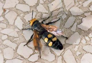 """Photo: Bonjour,  12° et ciel clair.  La Scolie à front jaune, ou scolie des jardins """"Megascolia maculata flavifron"""", le plus grand de nos hyménoptères qui chasse les larves du """"rhinoceros"""" (Oryctes nasicornis). Ici venue se rafraîchir sur ma terrasse arrosée."""