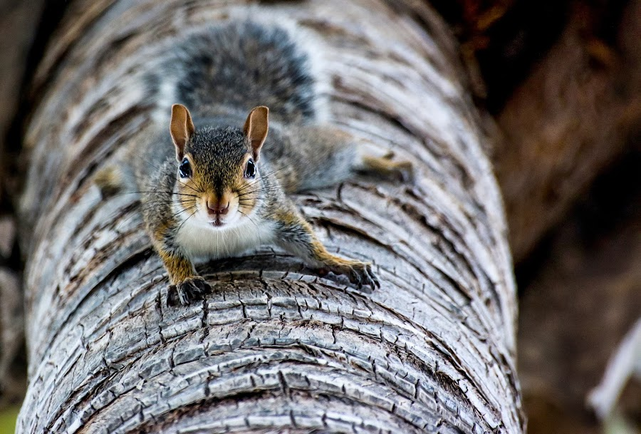 Squirrel by Ivo Tunchel - Animals Other ( miami, squirrel, animal,  )