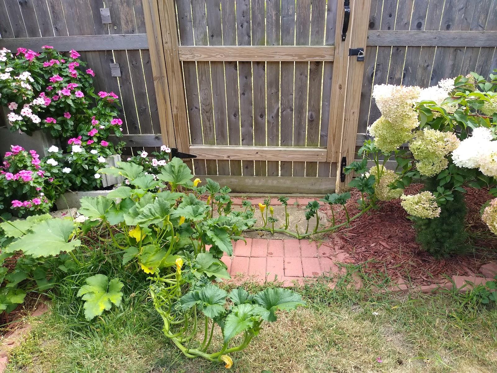 pumpkin plants picture