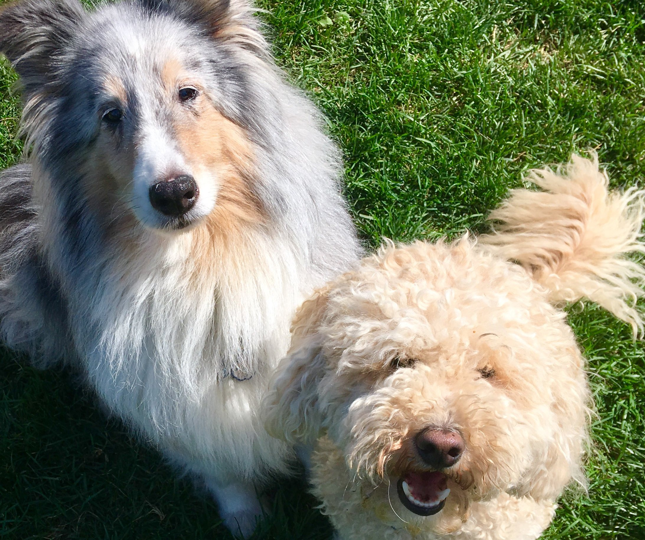Two fluffy dogs, one with longer and one with shorter hair, look up at the camera from the grass.