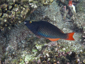 Photo: redtail parrotfish